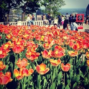 It's Tulip Season! Belvédére du Mont Royal